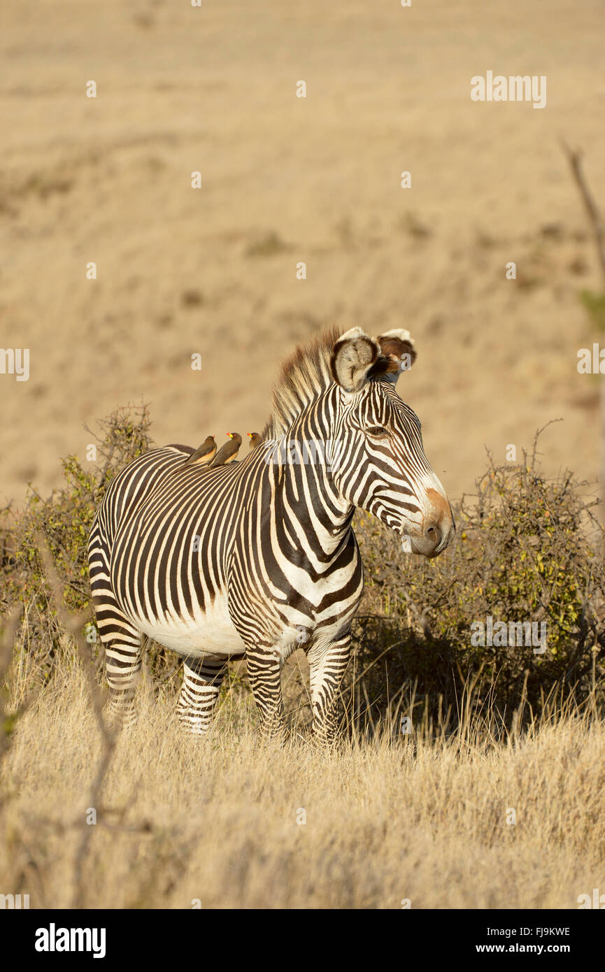 Grevy's Zebra (Equus grevyi) lone stallion standing in long dry grass, red-billed oxpeckers on back, Lewa Wildlife - Stock Image