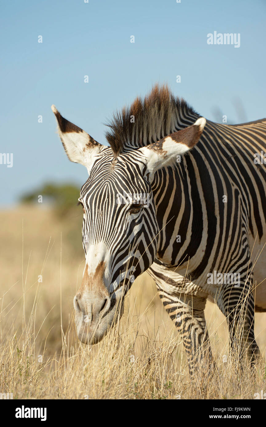 Grevy's Zebra (Equus grevyi) adult grazing, Lewa Wildlife Conservancy, Kenya, October - Stock Image