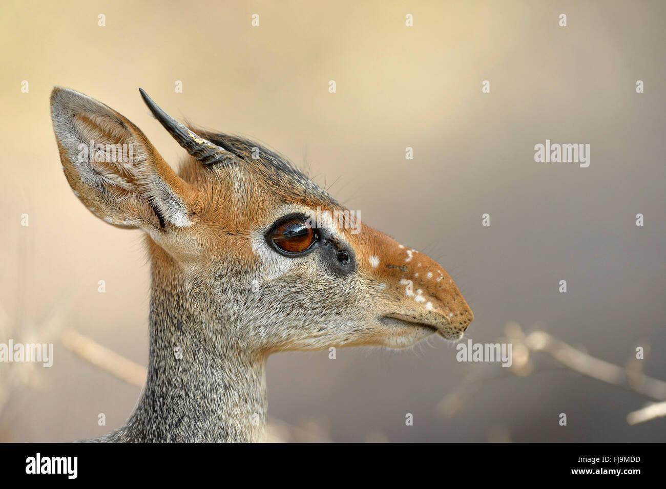 Kirk's Dikdik (Madoqua kirkii) close-up of head and neck, Shaba National Reserve, Kenya, October - Stock Image