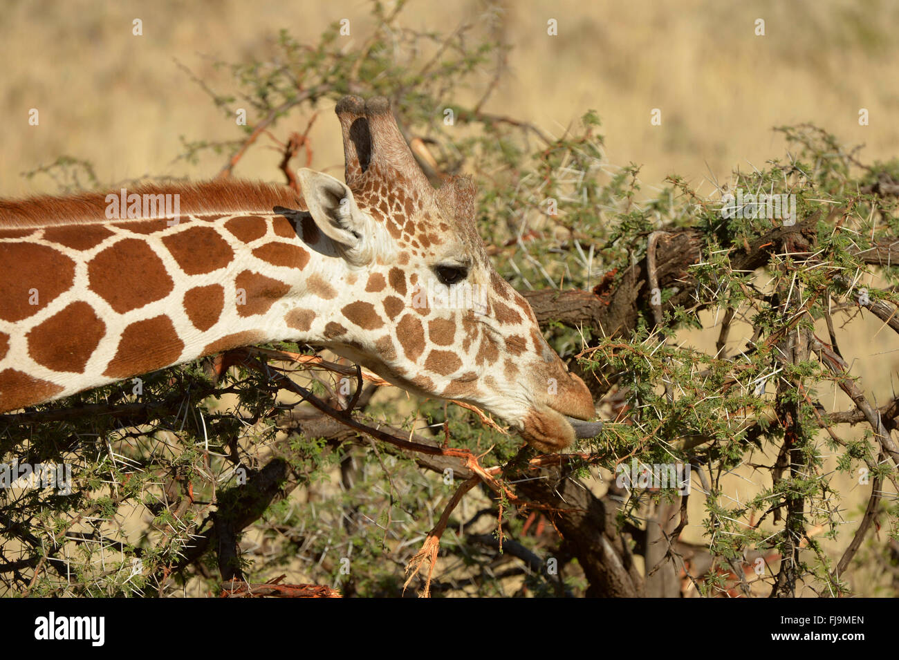 Reticulated Giraffe (Giraffa camelopardalis reticulata) close-up of head, feeding on acacia leaves, tongue extended, - Stock Image