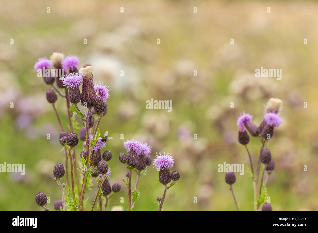 Flower heads of Creeping thistle (Cirsium arvense) - Stock Image
