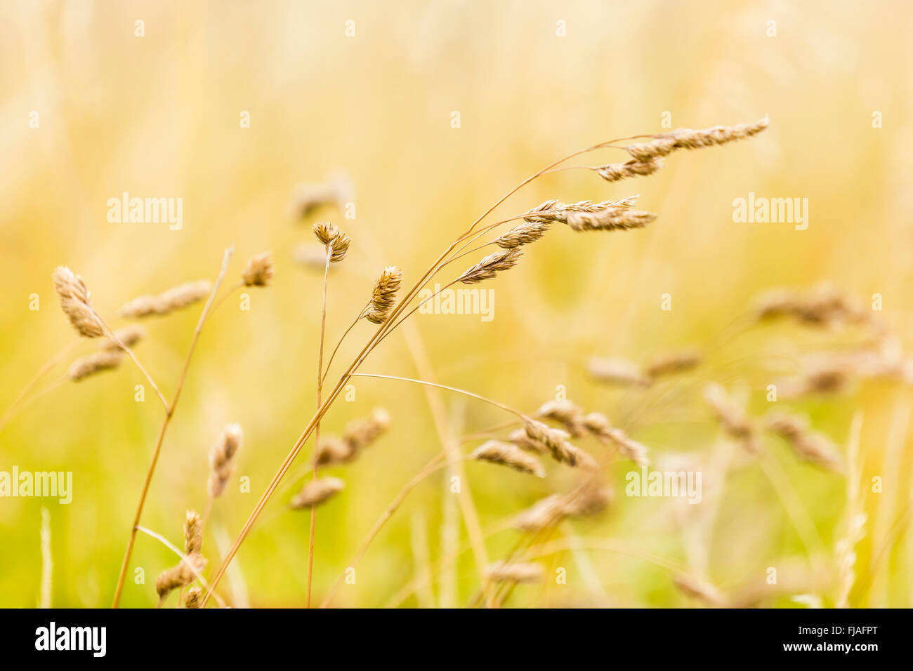 Grass seed heads of Cocksfoot - Dactylis glomerata. - Stock Image
