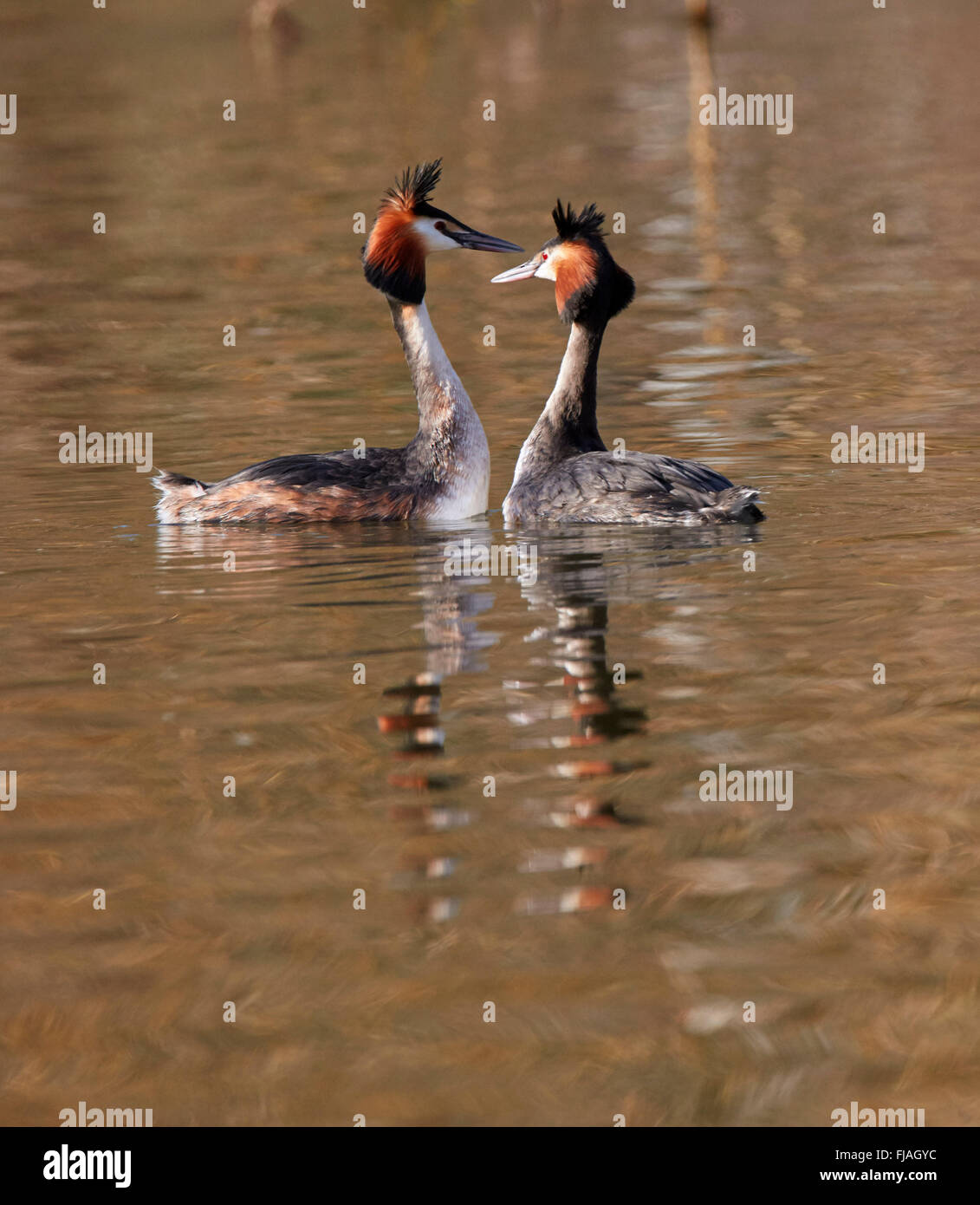 Pair of Great Crested Grebes courting. River Thames, West Molesey, Surrey, England. Stock Photo