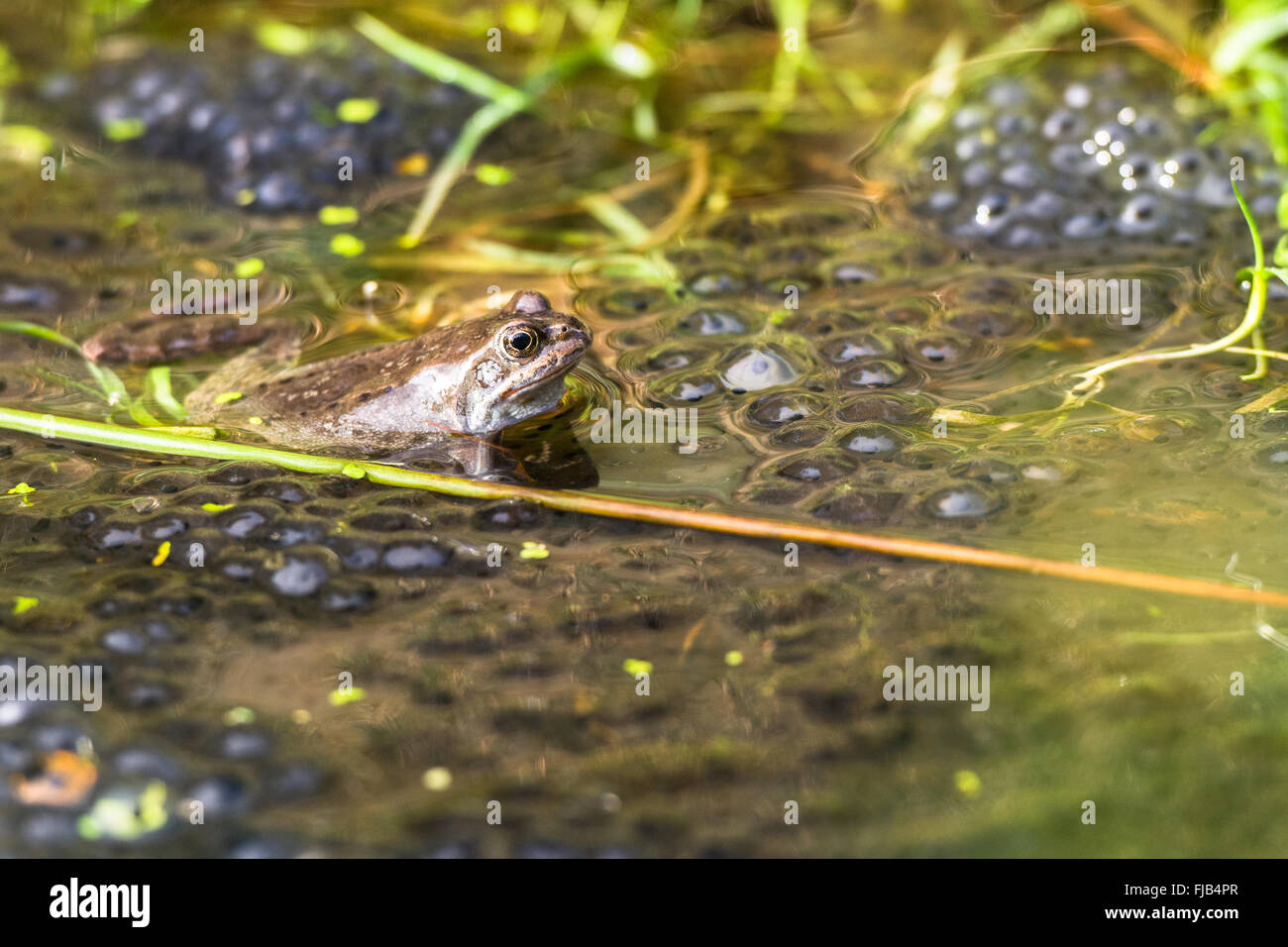 Common European Frog (Rana Temporaria) with spawn in grassy pool of water (taken in Wicklow, Ireland) - Stock Image