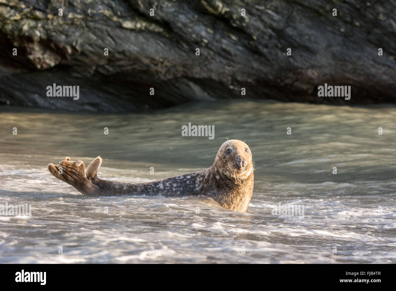 Grey seal (Halichoerus grypus) in shallow sea water against a rocky backdrop Stock Photo