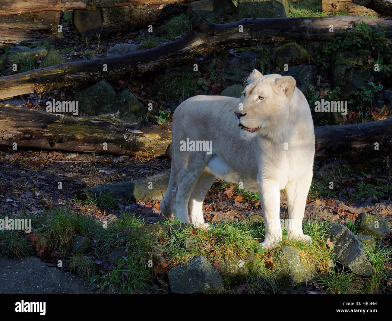 White lion standing in the sun - Stock Image