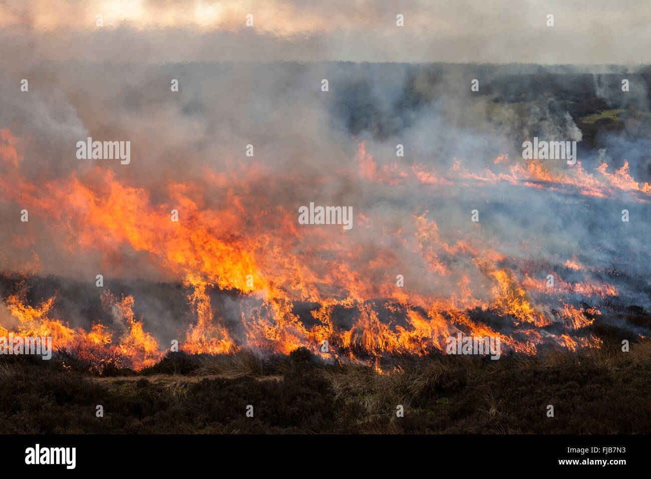 Fire Sweeping Across Moorland During Controlled Heather Burning in the North Pennines England UK - Stock Image