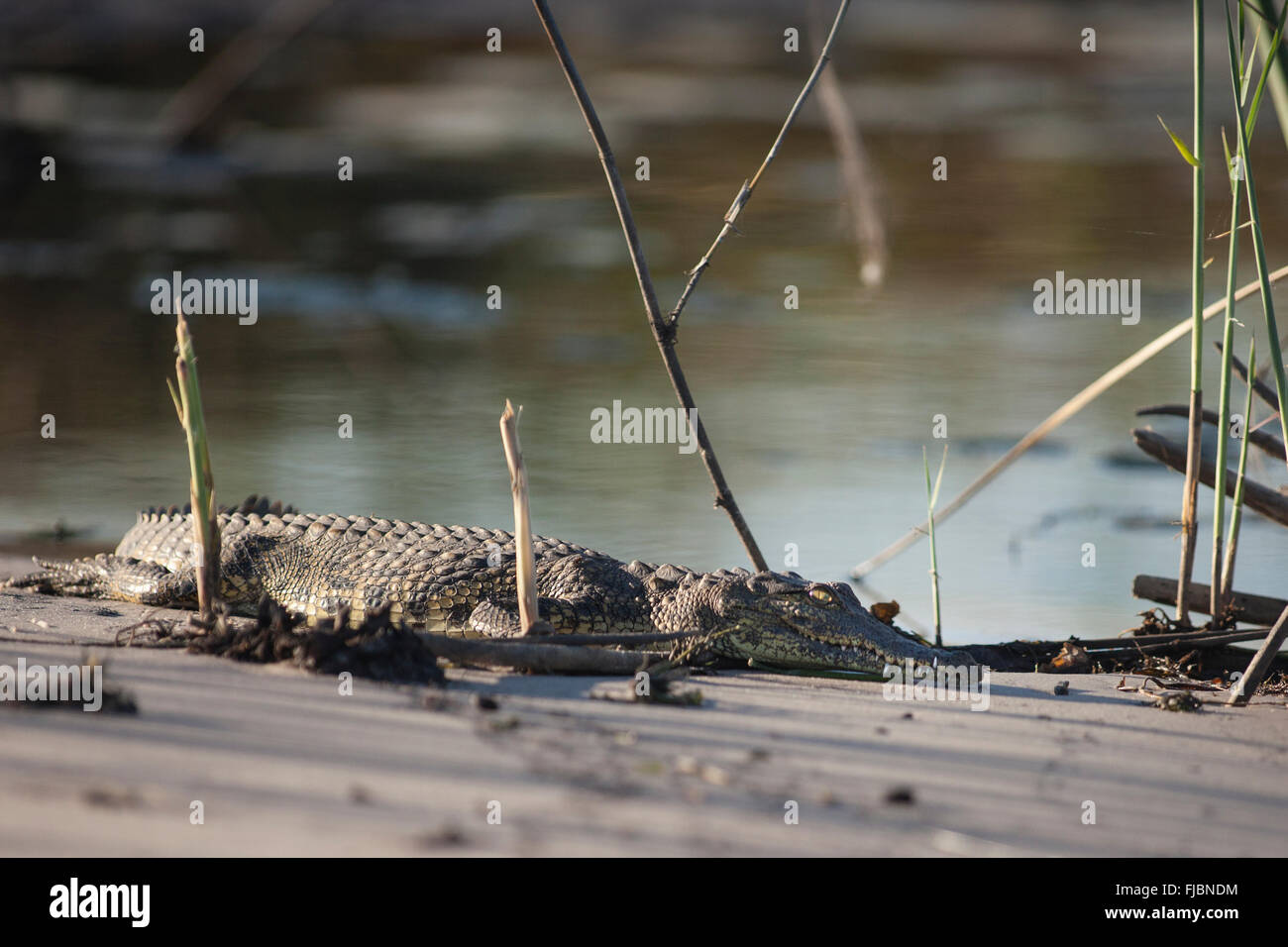 A crocodile in Africa - Stock Image