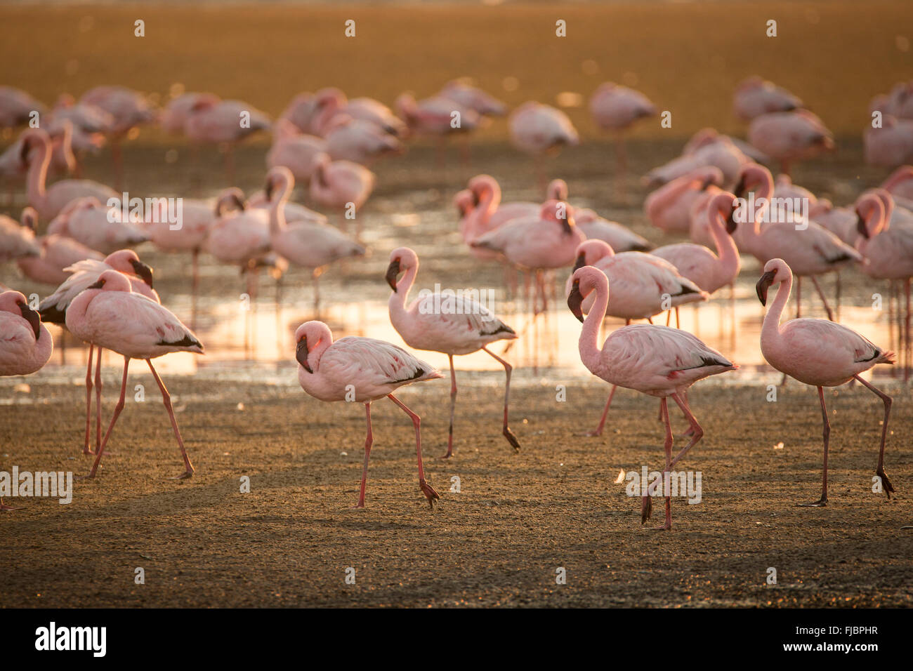 Flamingos at the Walvis Bay wetland - Stock Image