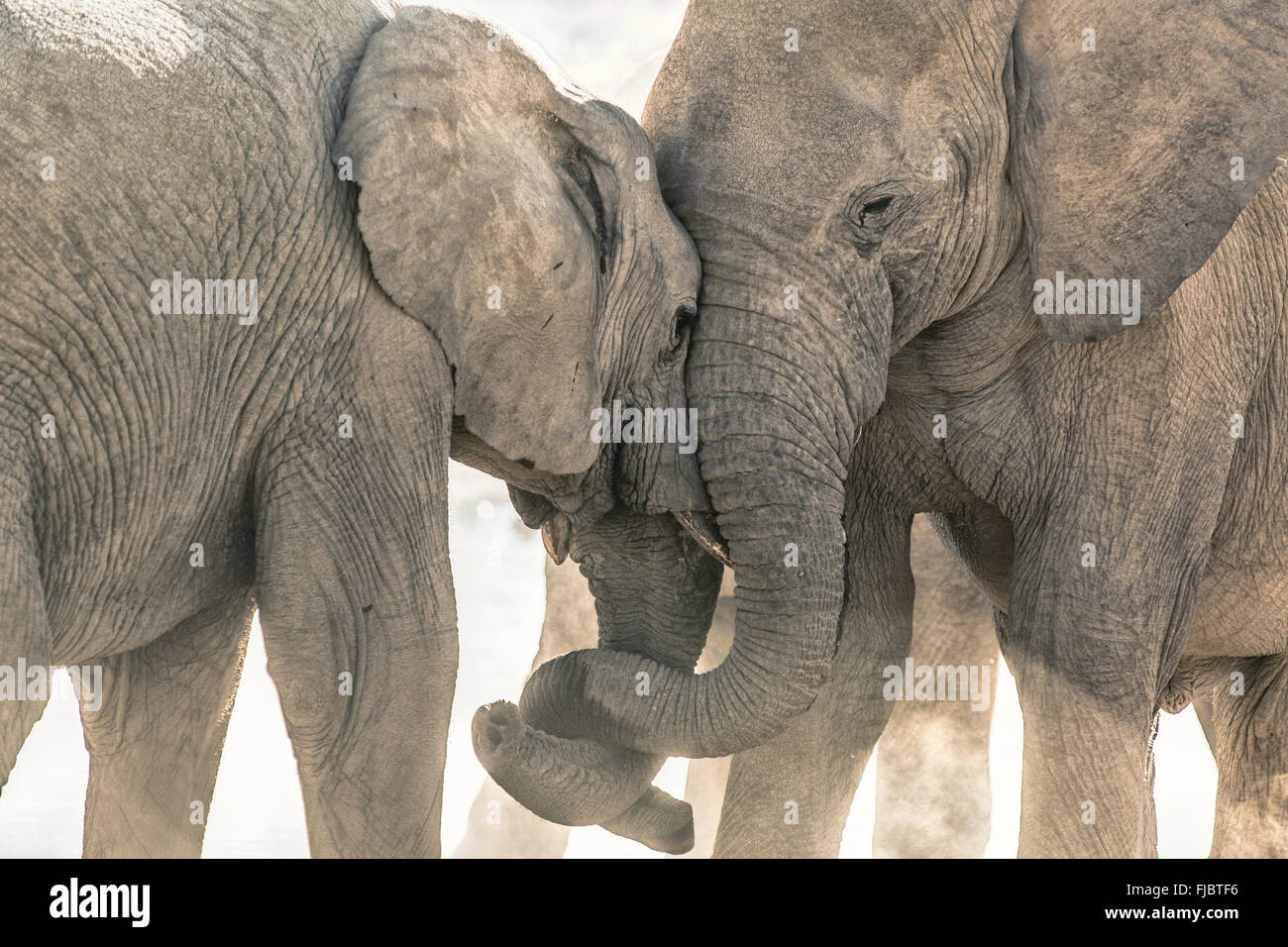 Two elephants tussle - Stock Image