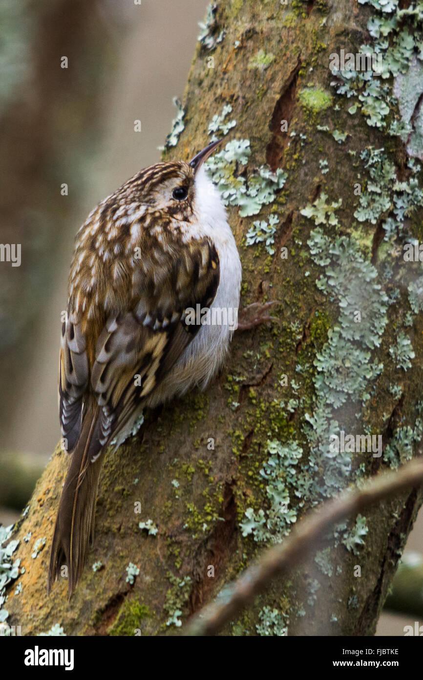 Tree creeper (Certhia familiaris) bird clinging on sloping tree trunk. Static at  eye level. Close up of tree creeper - Stock Image