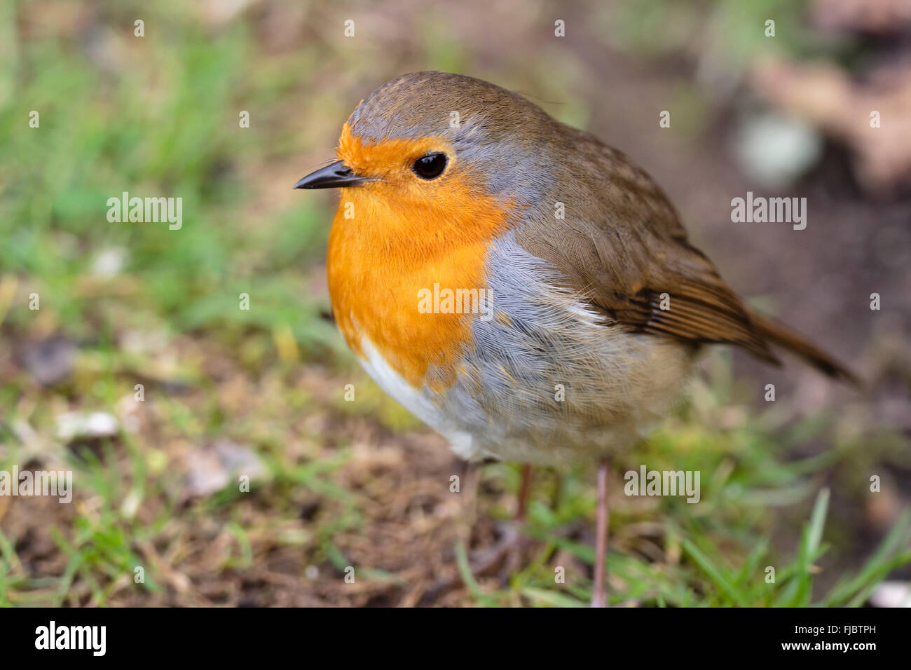 Shallow focus shot of a European robin, Erithacus rubecula, in a late winter garden - Stock Image
