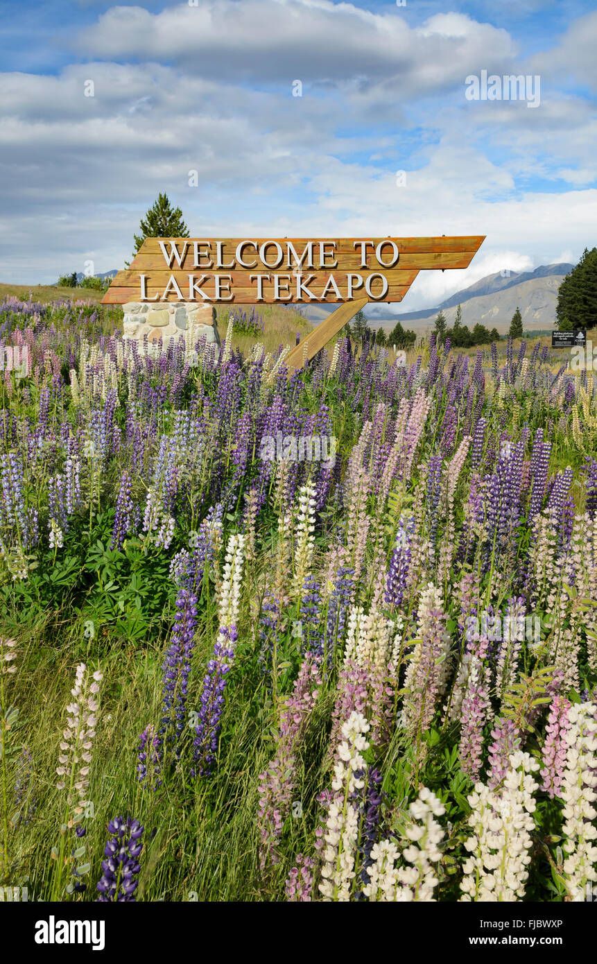 Welcome sign, welcome to Lake Tekapo, standing surrounded by lupines (Lupinus), Lake Tekapo, South Island, New Zealand - Stock Image