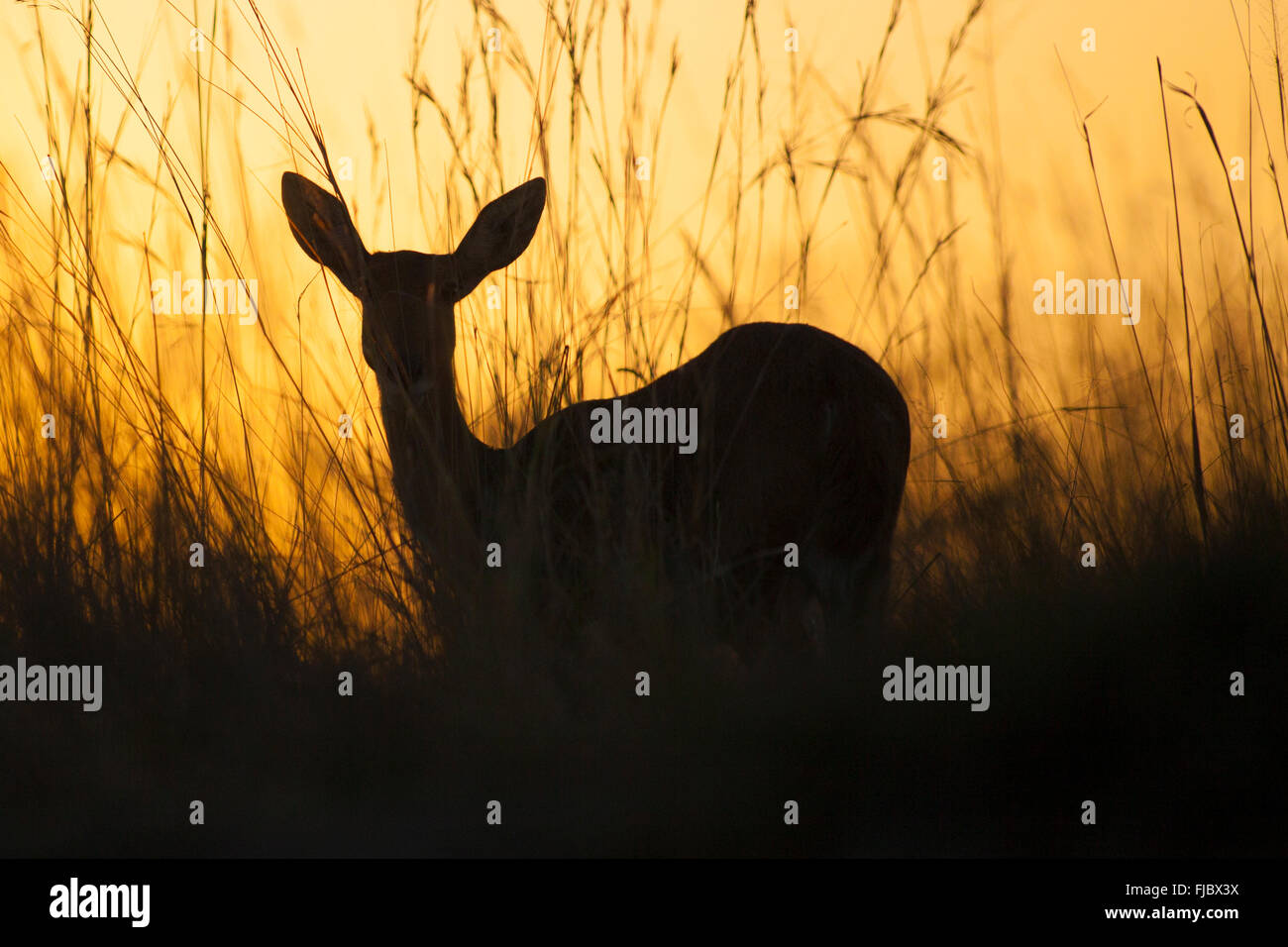 Antelope in the sunset - Stock Image