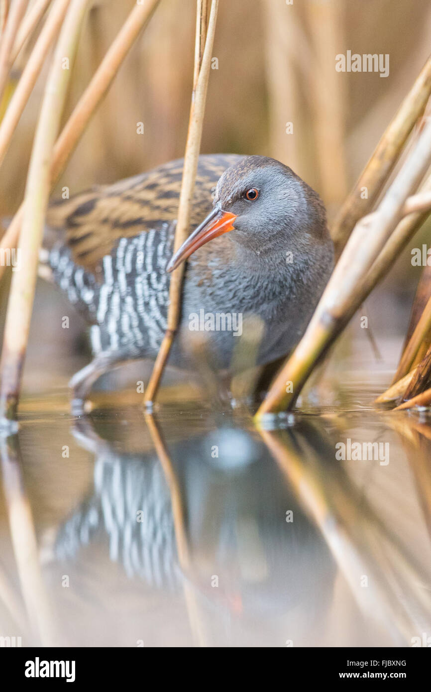 Water Rail (Rallus aquaticus) wading through reeds, reflected in shallow water - Stock Image