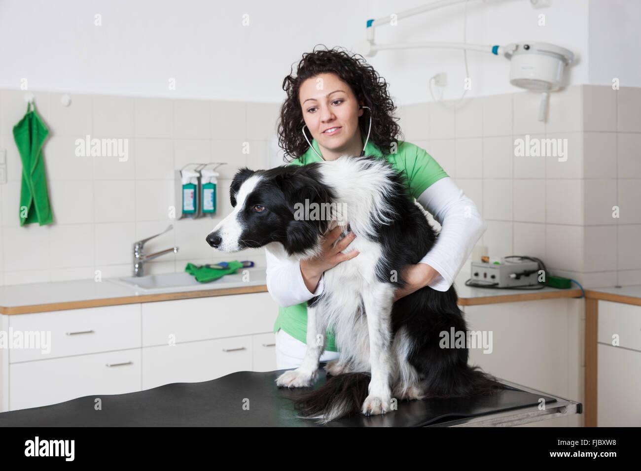 Veterinarian, female vet examining dog with stethoscope, Border Collie - Stock Image