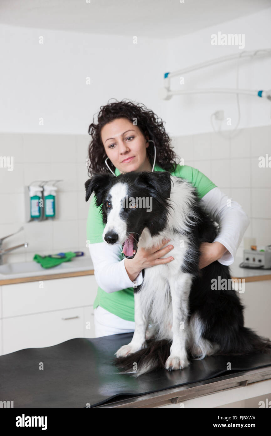 Veterinarian, female vet examining dog with stethoscope, Border Collie Stock Photo
