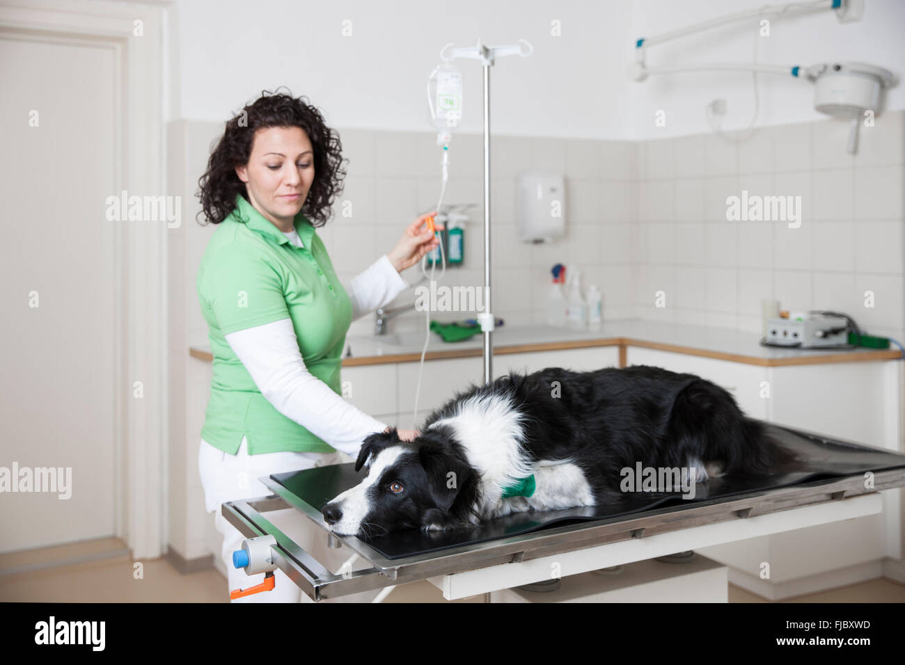 Veterinarian, female vet with Border Collie, dog gets an infusion at the veterinarian Stock Photo