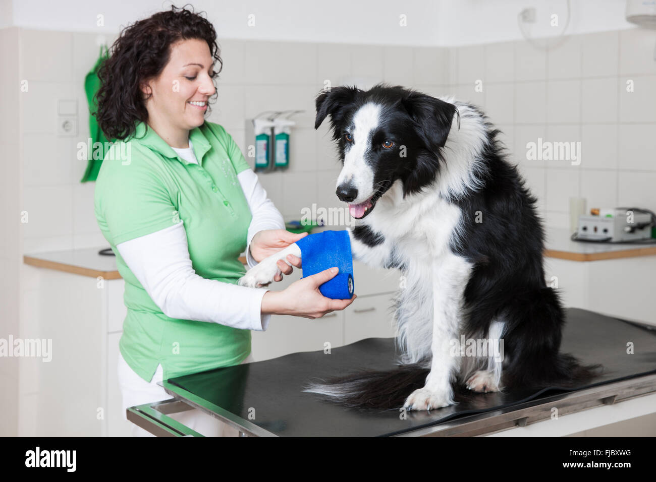 Veterinarian, female vet bandaging dog's paw, Border Collie Stock Photo
