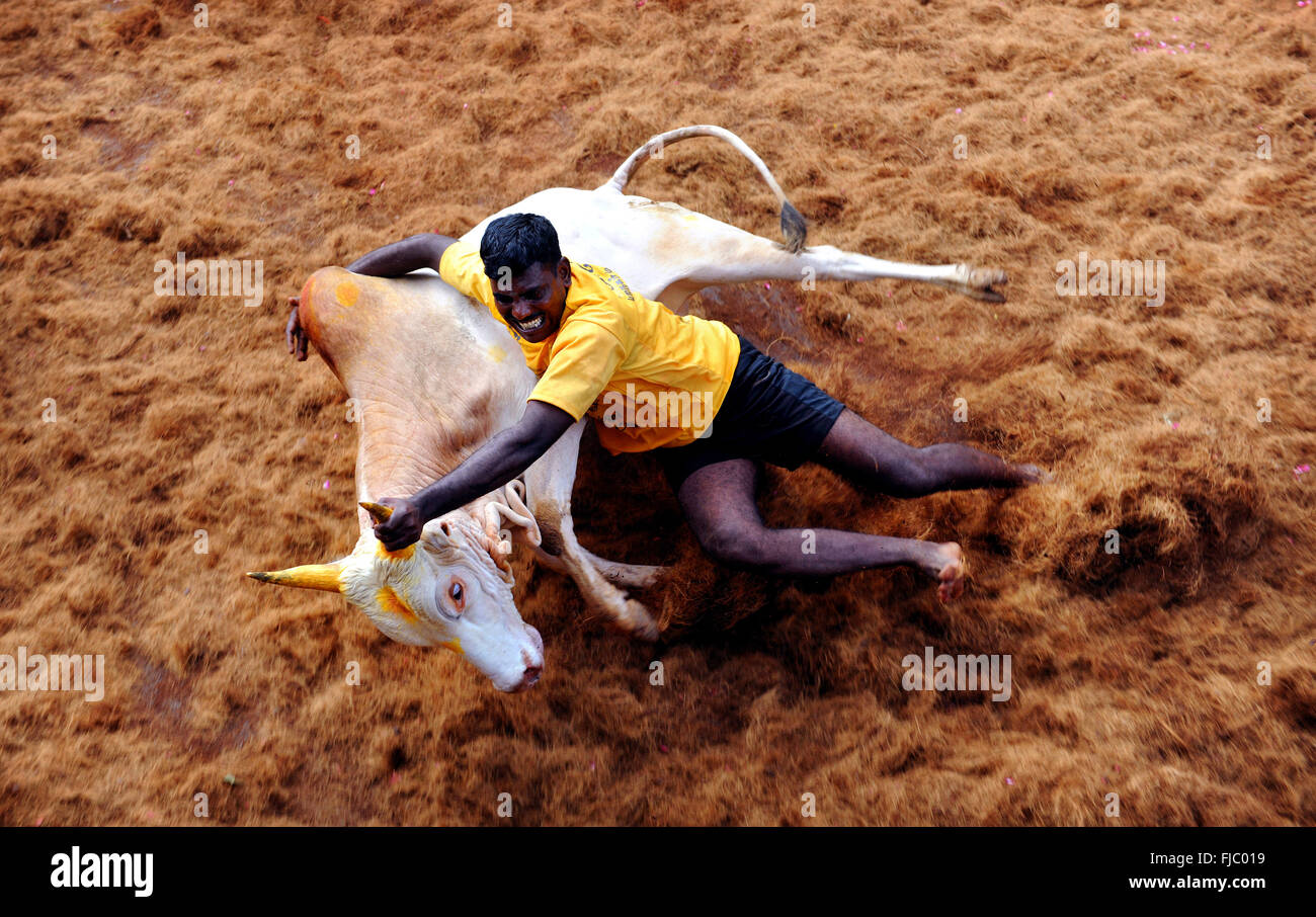 Jallikattu or Taming the bull is one of the oldest living ancient sports seen in the modern era. Madurai , India - Stock Image