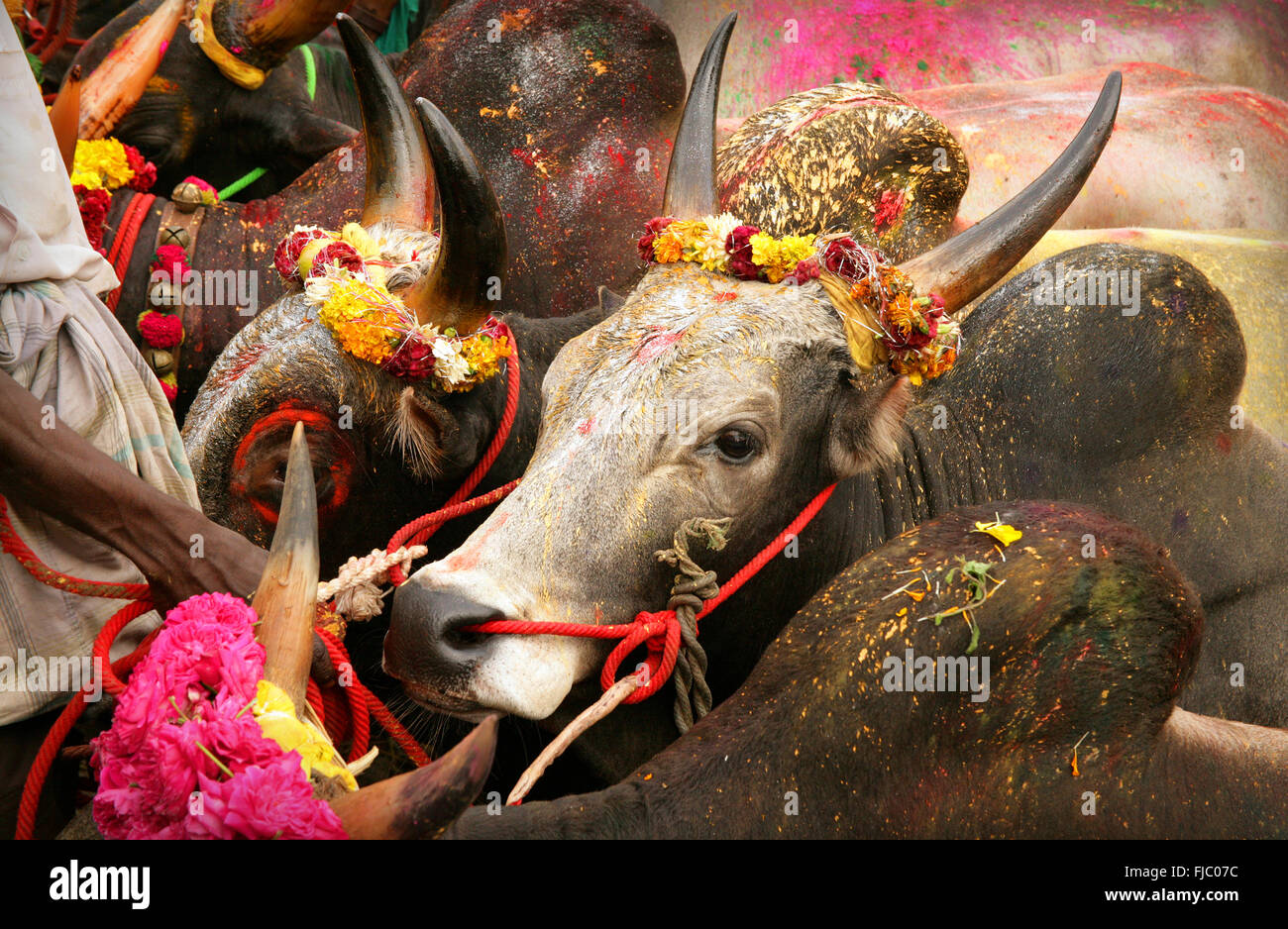 Portrait of a jallikattu bull jallikattu or taming the bull is one of the oldest