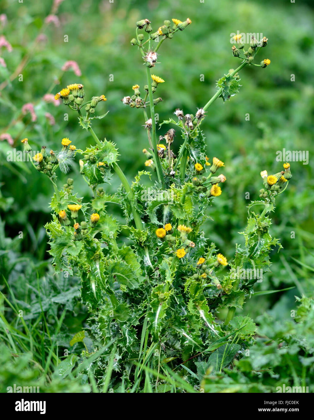 Prickly Sow Thistle Sonchus Asper Prickly Plant In The Daisy