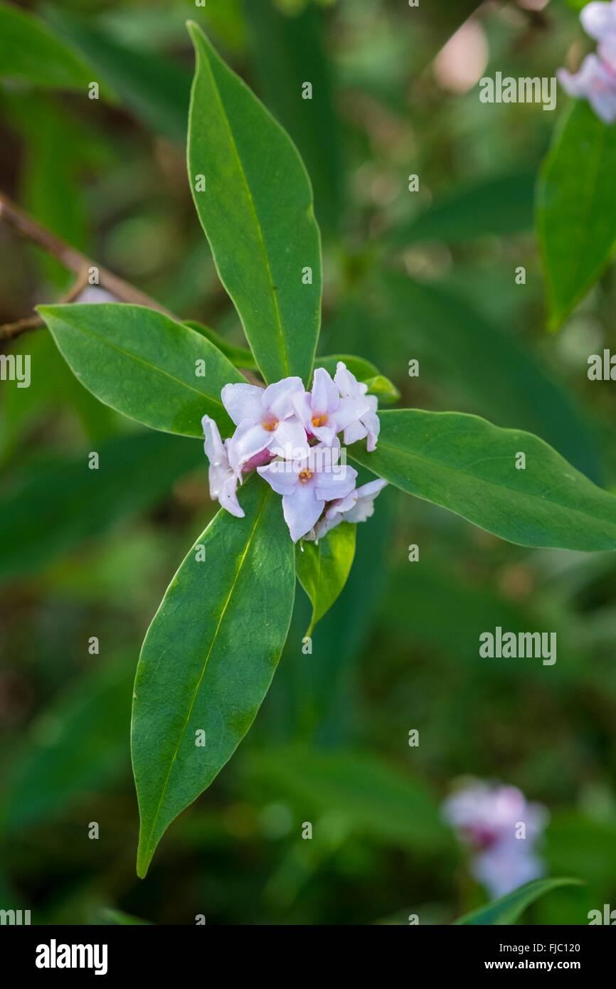 Winter flowering Daphne odora - Stock Image