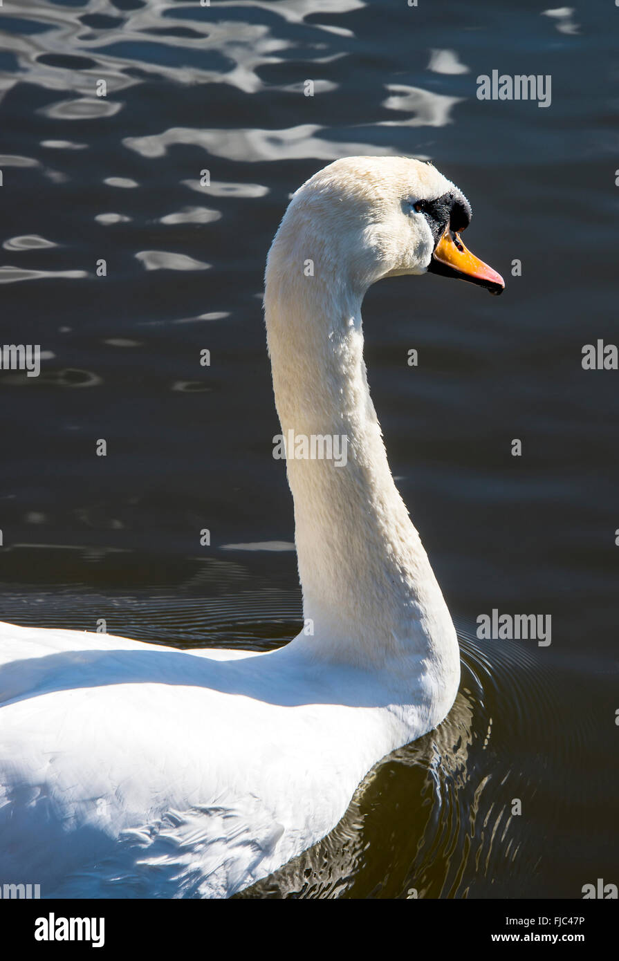 A Male Mute Swan Enjoying Early Spring Sunshine at Fairburn Ings near Castleford West Yorkshire England United Kingdom Stock Photo