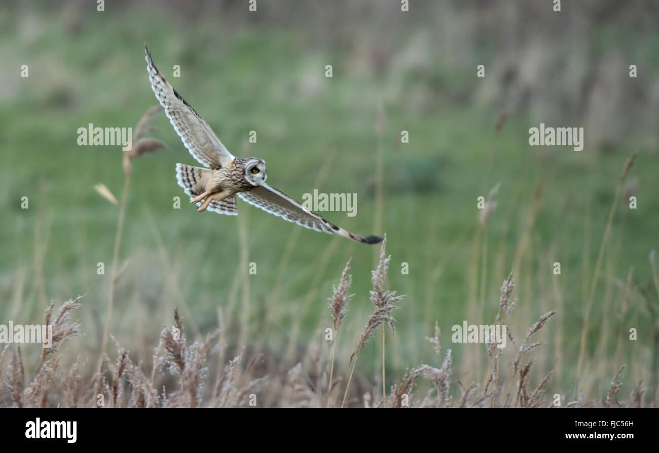 Short-eared Owl-Asio flammeus hunts. Winter. Uk - Stock Image