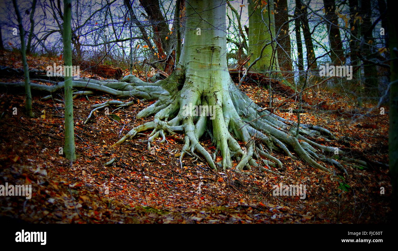 phytography the root Taproot: taproot, the main root of a primary root system, growing vertically downward most dicotyledonous plants produce taproots, some of which are specialized for food storage in other plants, the initial taproot of the seedling is replaced by a fibrous, or diffuse, root system.