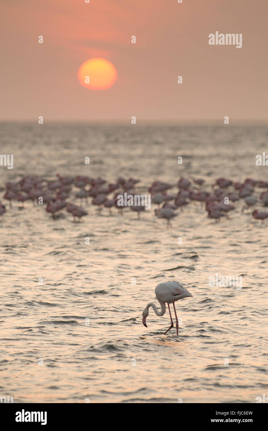 Flamingo at Walvis Bay wetlands - Stock Image