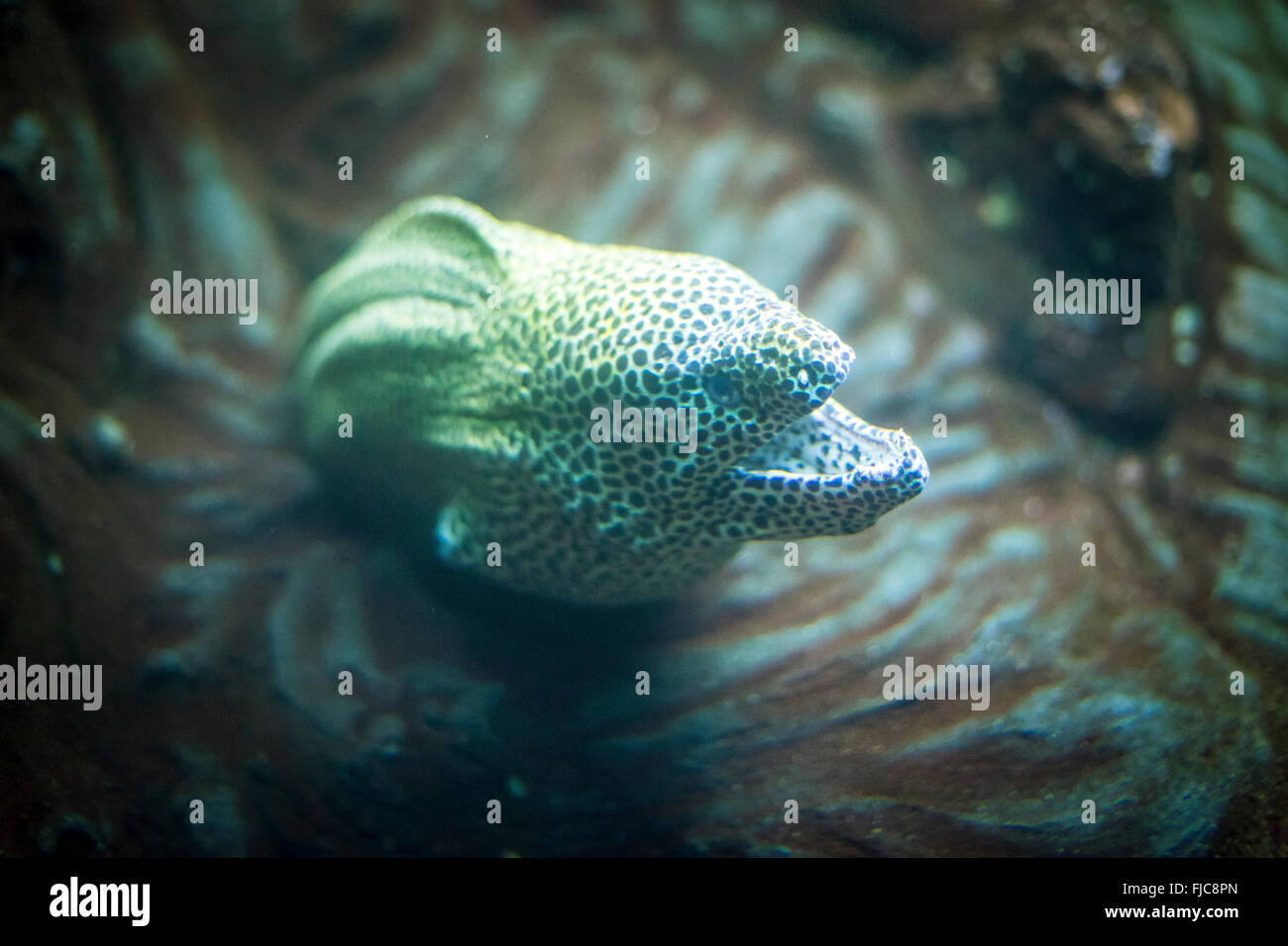 muraenidae in the cave under the sea, with defiant look - Stock Image