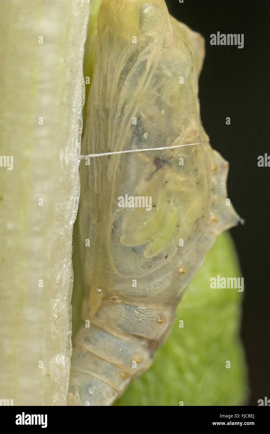Cabbage white butterfly pupa parasitised by Pteromalus puparum wasp - Stock Image