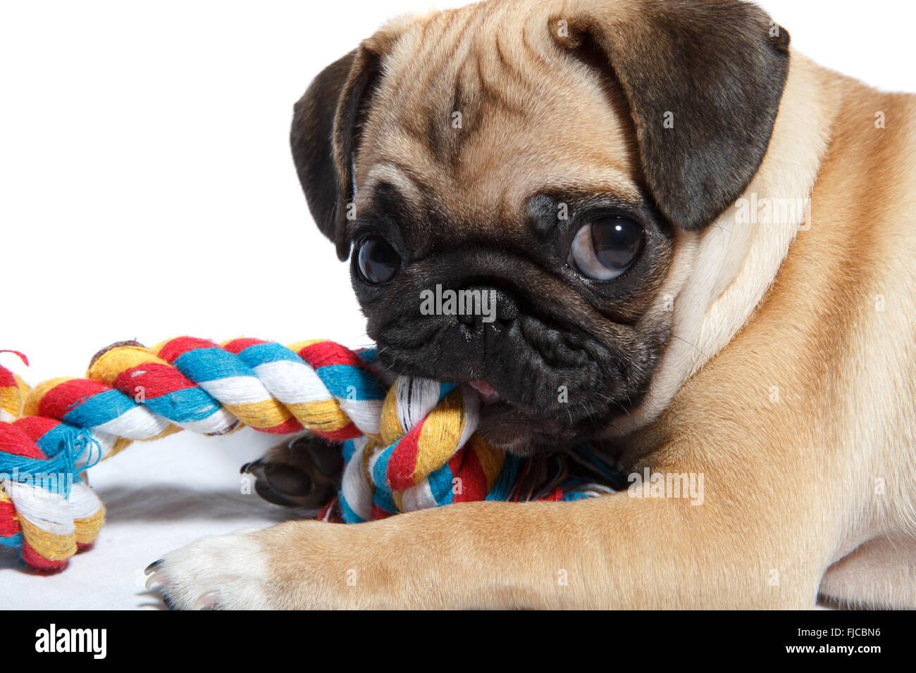 Pug biting toy - Stock Image