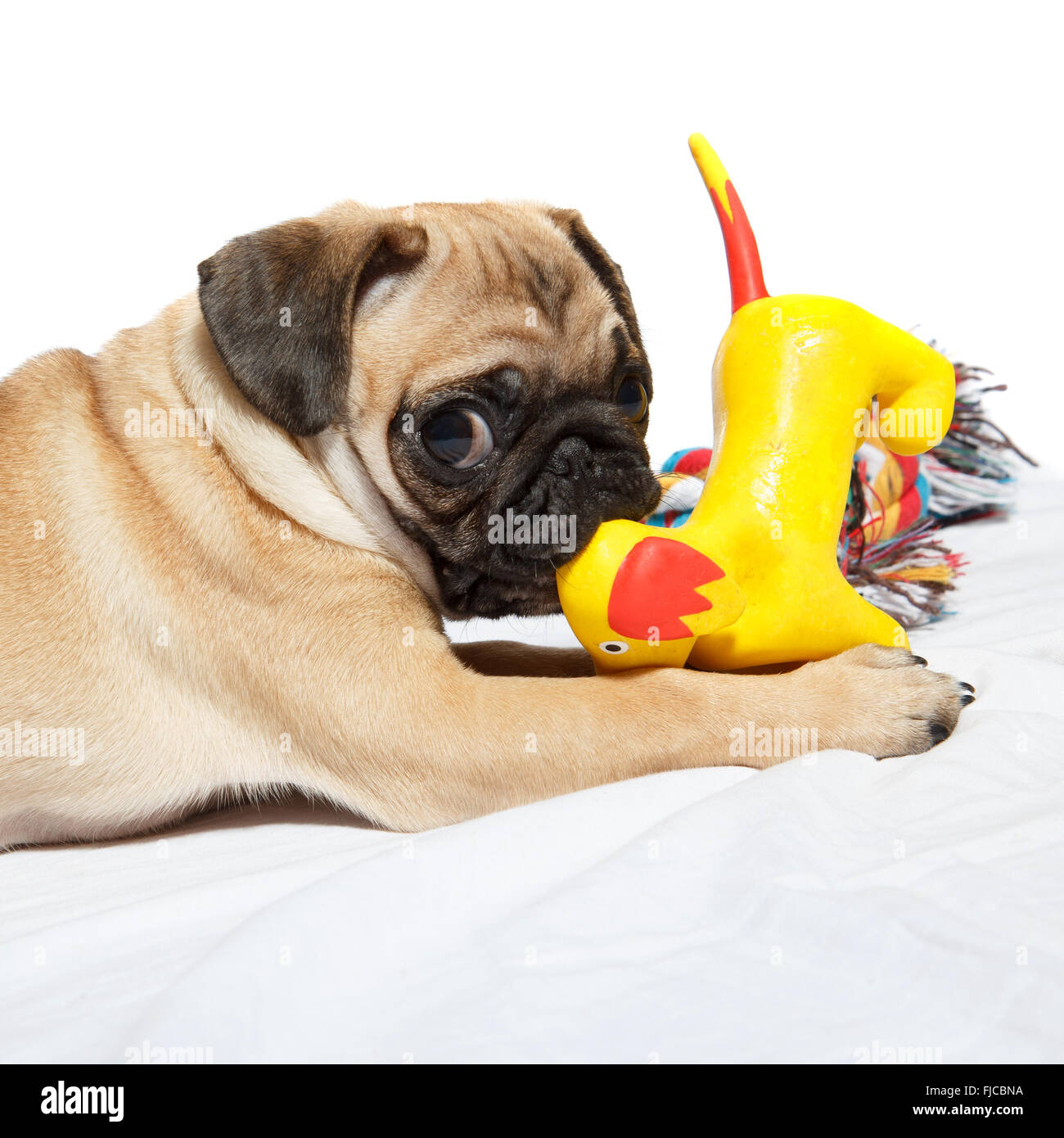Pug playing with toy - Stock Image