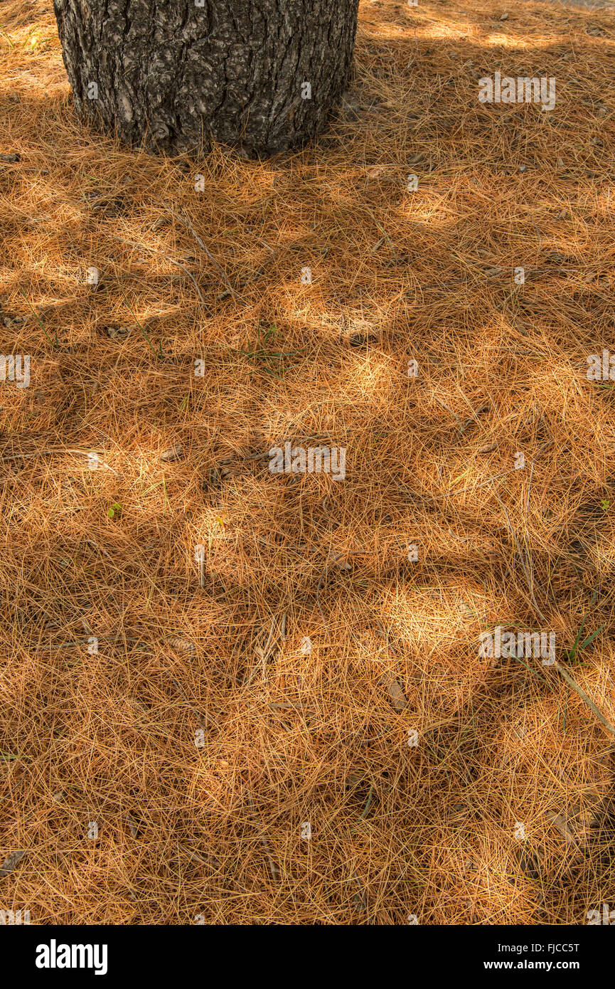 Pine Tree Needles & Shadows - Stock Image
