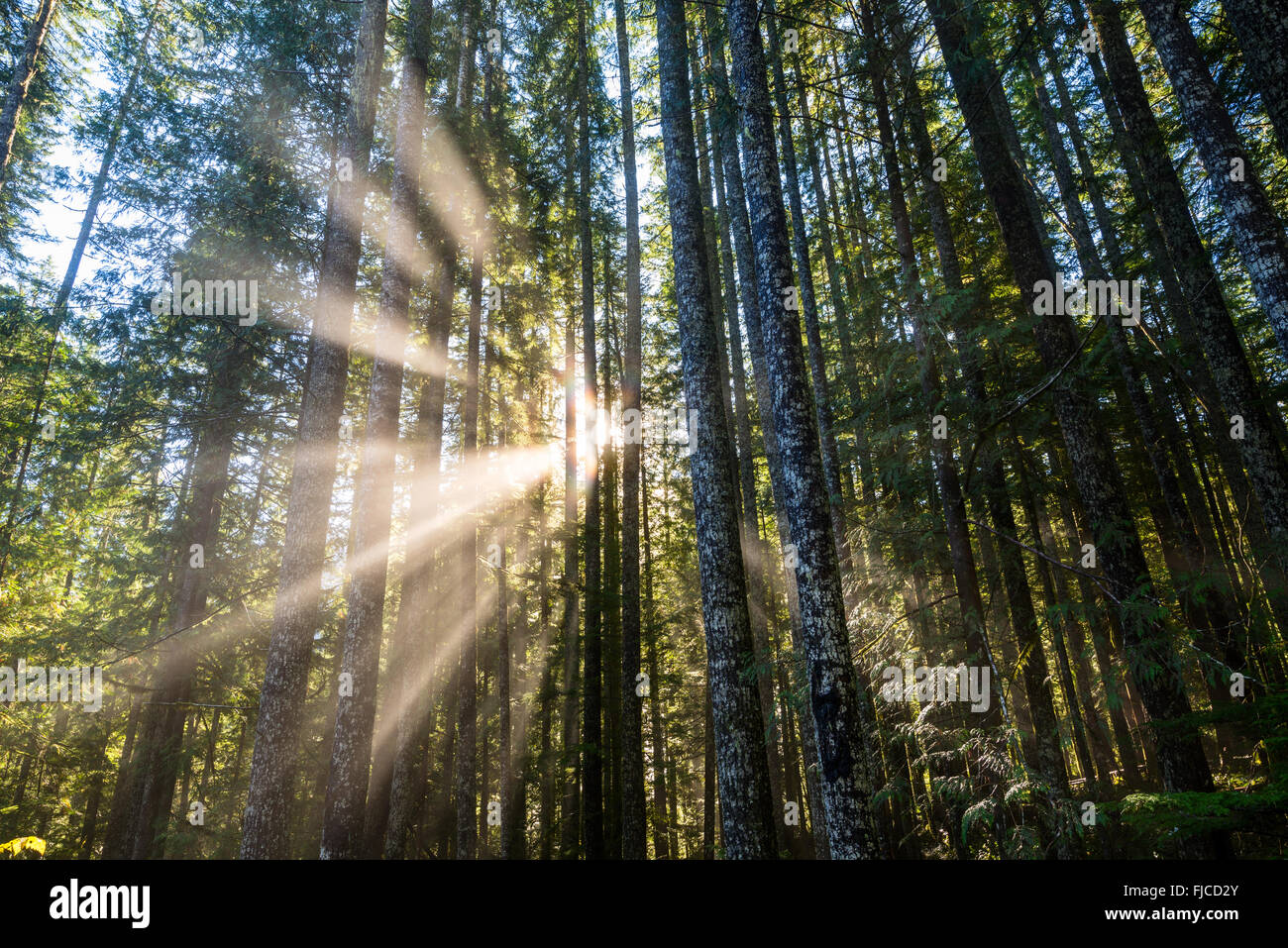 Sun beams through a forest in Washington State. - Stock Image