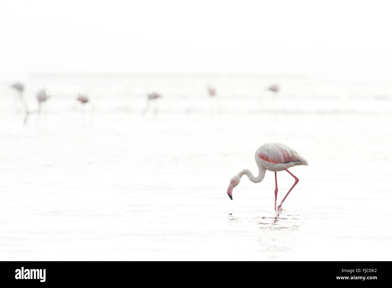 Flamingos feeding at a wetland - Stock Image