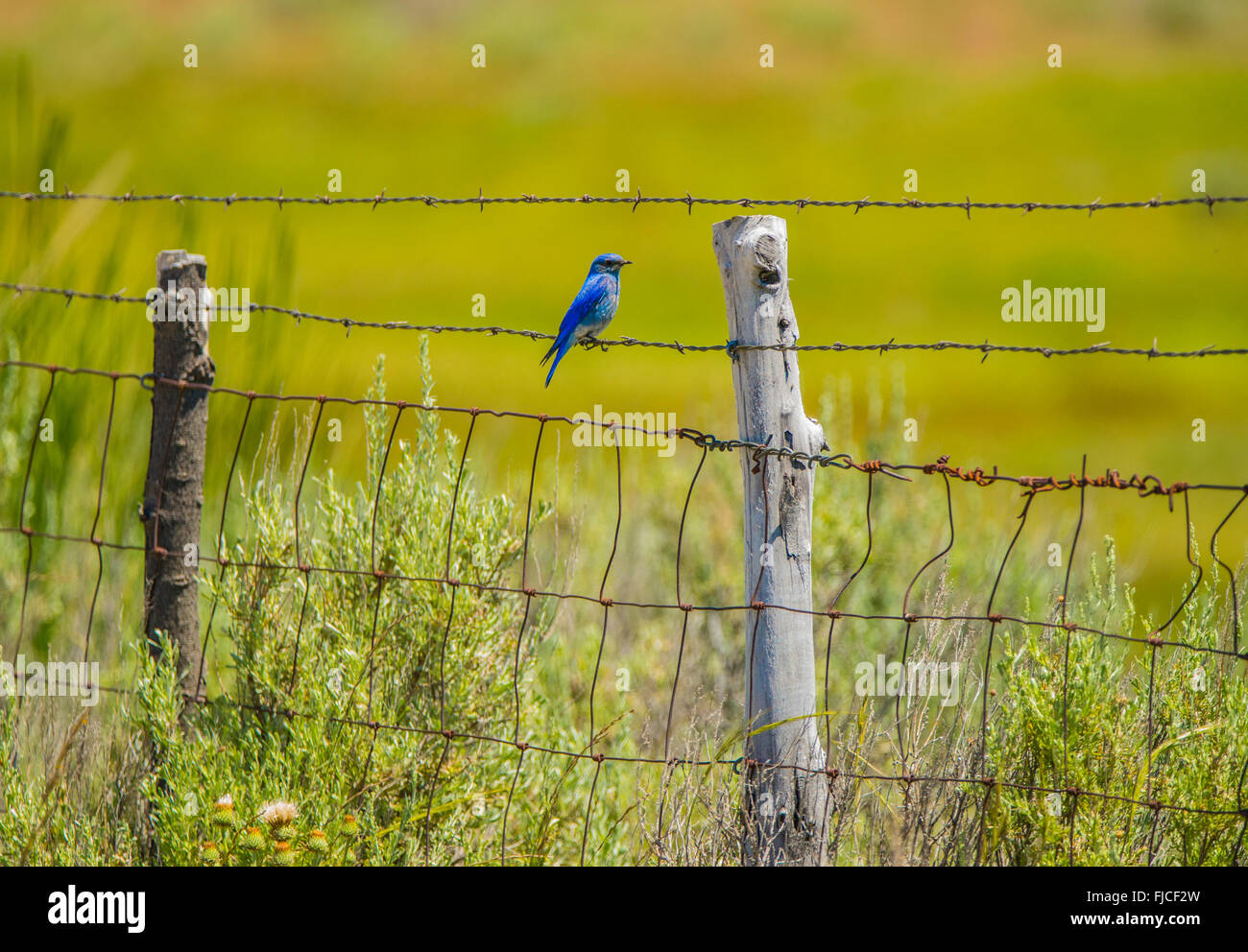 Birds, Mountain Blue Bird perched on a fence. Idaho State Bird, Idaho, USA - Stock Image