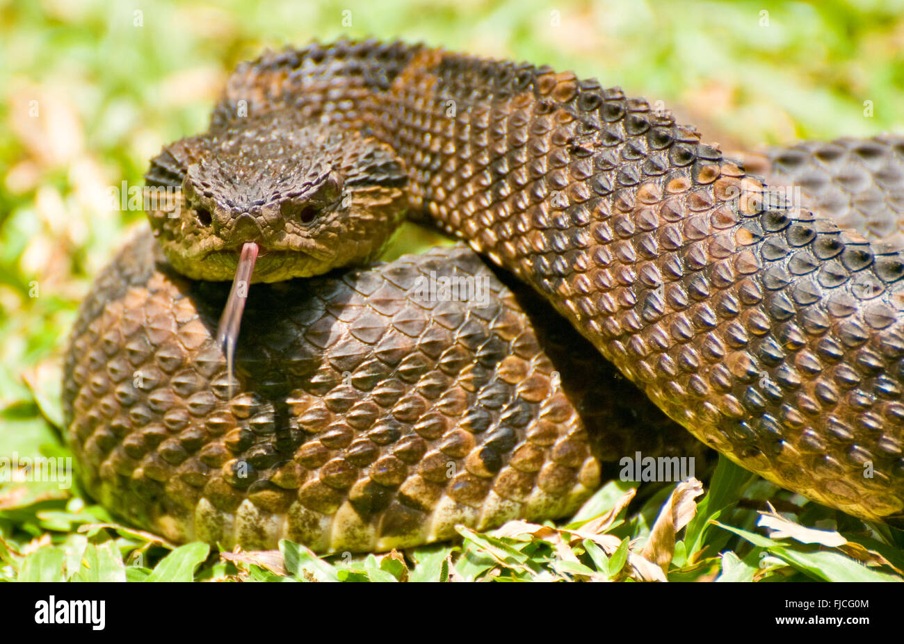 Wildlife, Reptiles, Mexican Jumping Pit Viper Snake, Costa Rica Stock Photo