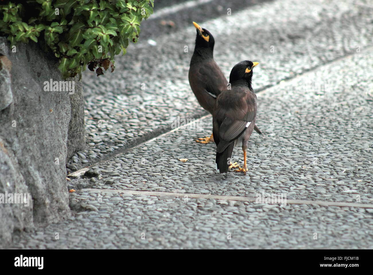 A Pair of Common Myna Birds - Stock Image