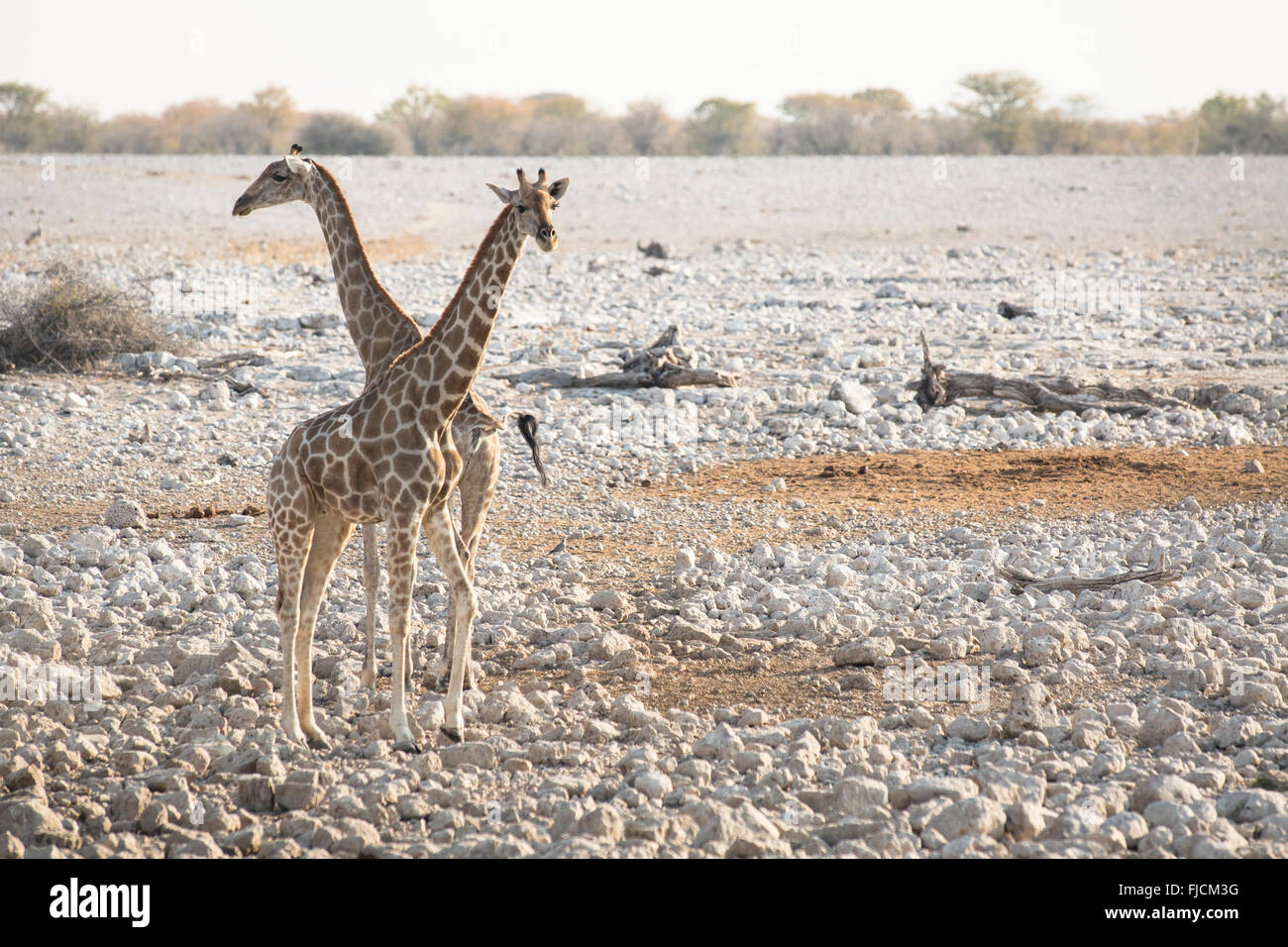 Giraffe at a water hole - Stock Image