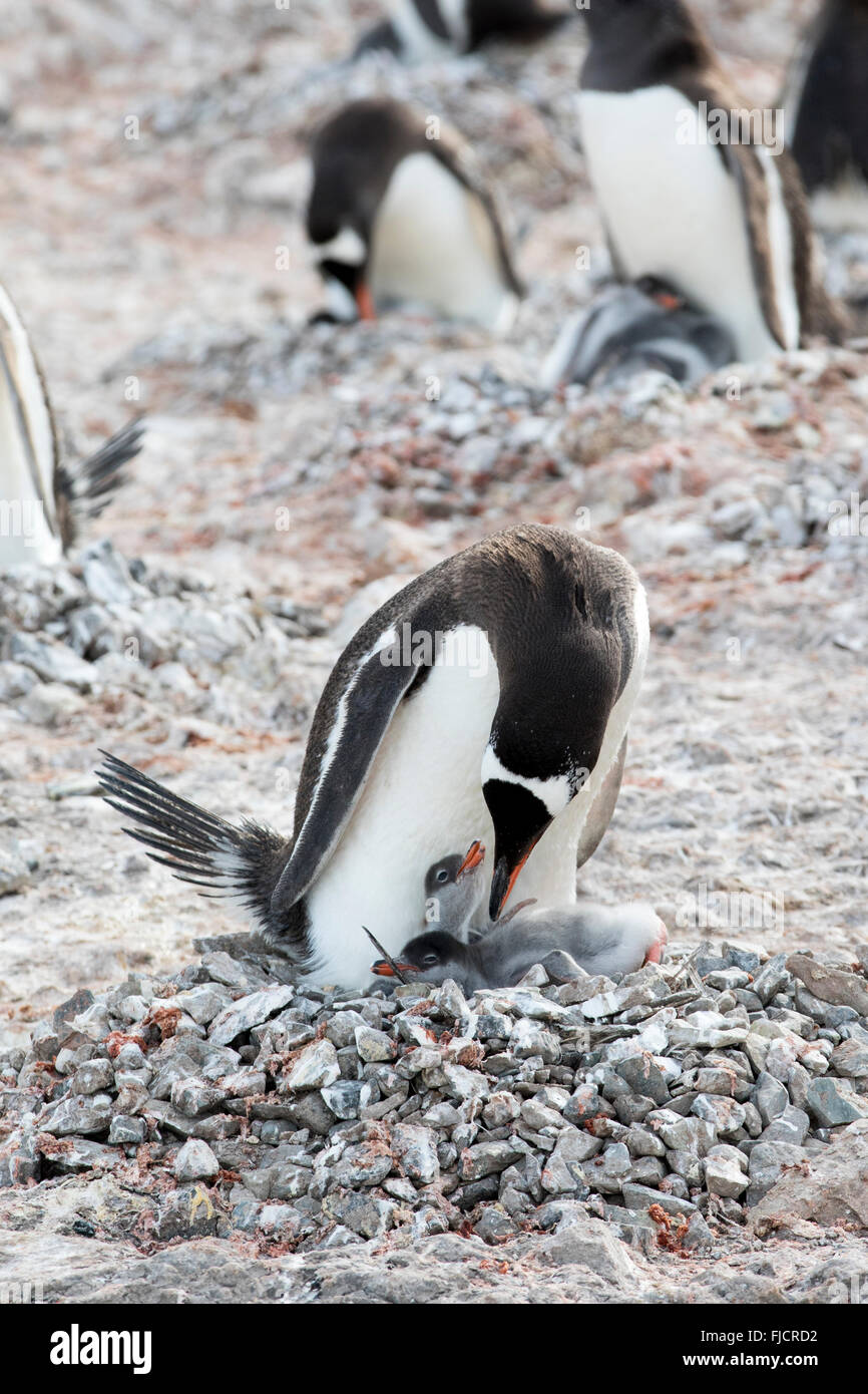 Penguin chicks and adult penguin family in Antarctica. Gentoo penguins (Pygoscelis papua). - Stock Image