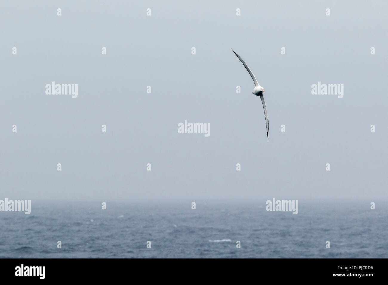 Wandering albatross bird flying above Drake Passage near Antarctica, Antarctic. (Diomedea exulans). - Stock Image
