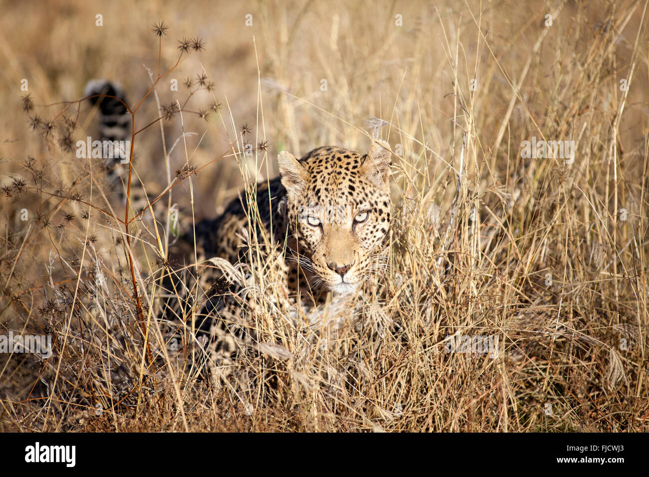 A leopard hunts in the Bushveld - Stock Image
