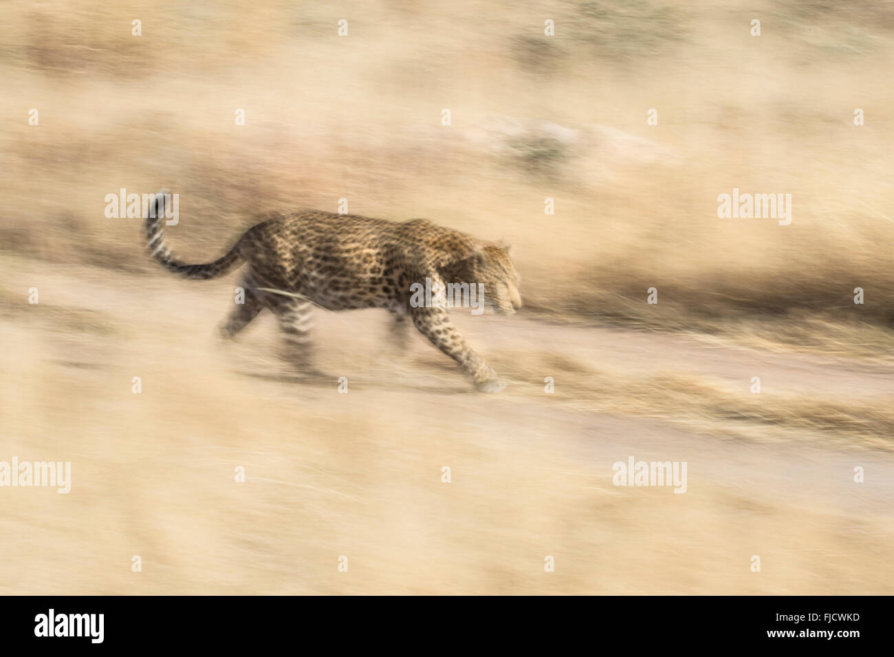Leopard in motion blur - Stock Image