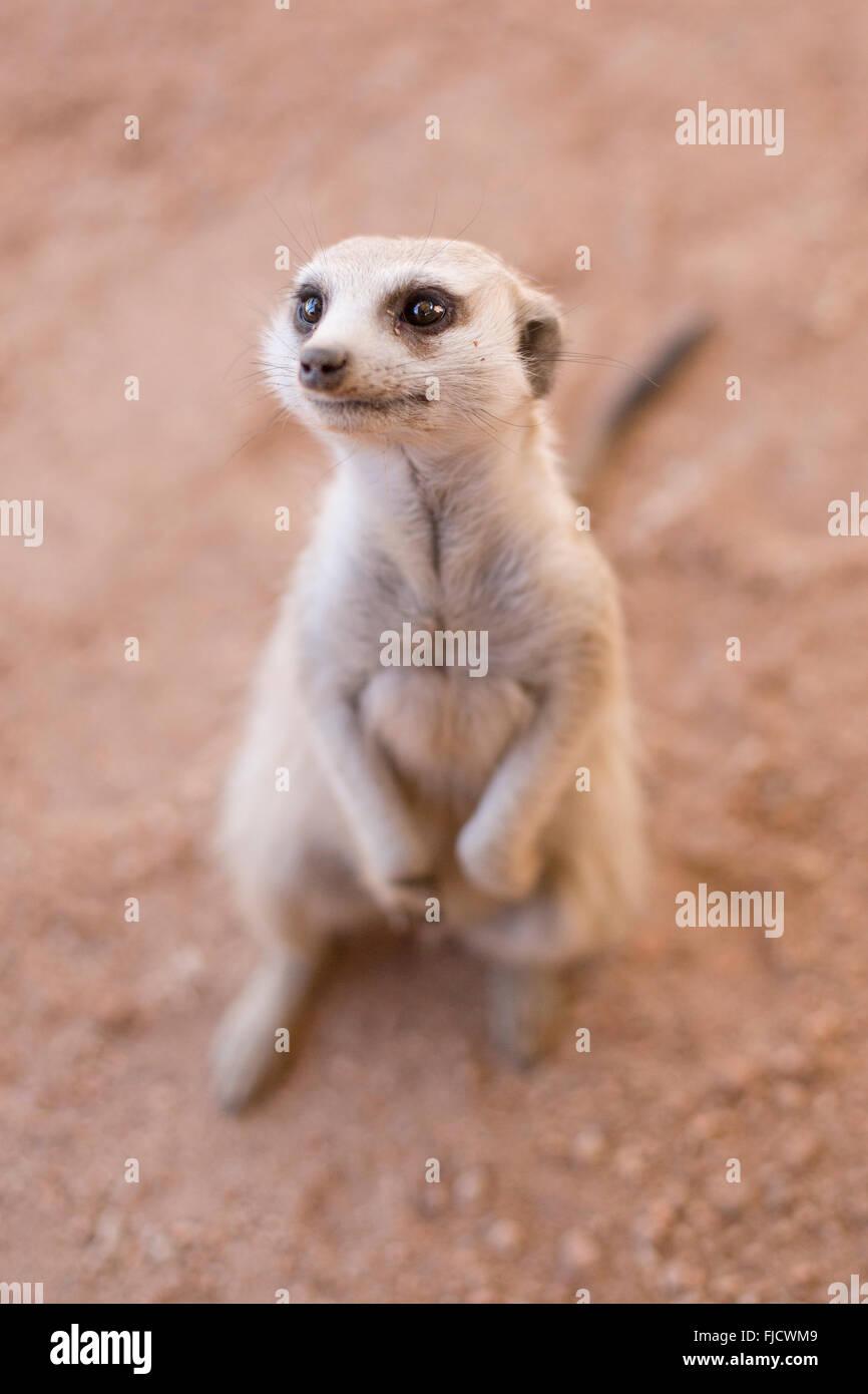 An inquisitive Meerkat in the Kalahari. - Stock Image