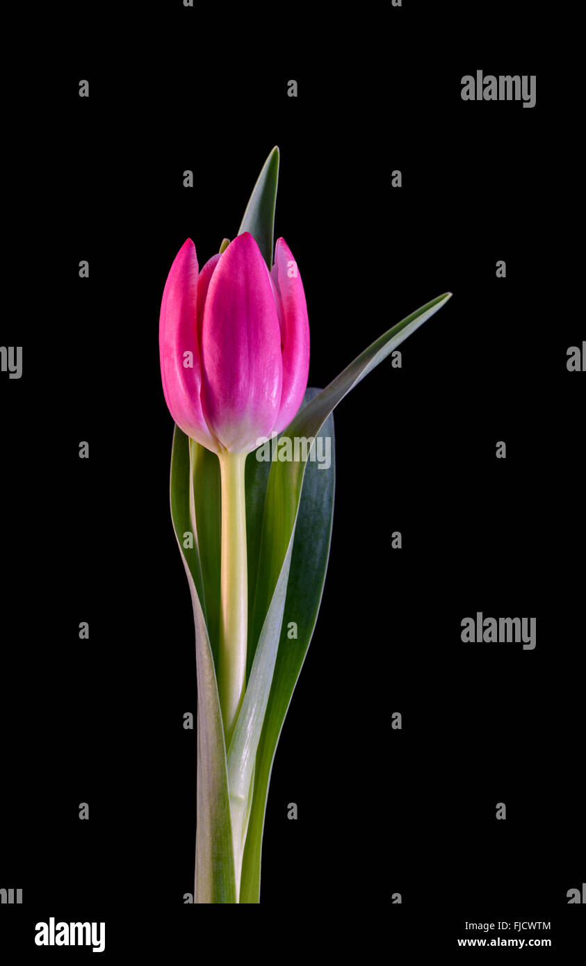 A Pink Tulip Flower Against A Black Background Stock Photo Alamy