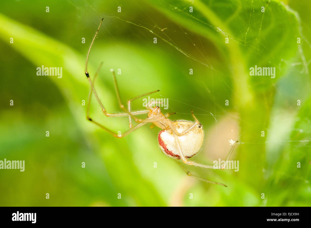 A Candy Stripe Spider (Enoplognatha ovata) sits in its web. Washington, United States. - Stock Image