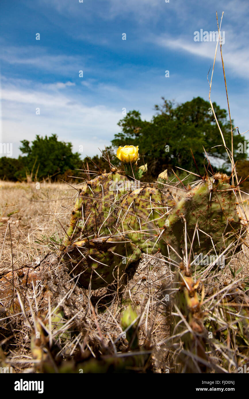 Prickly Pear Cactus - Stock Image